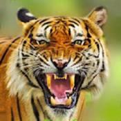 老虎生存模擬器